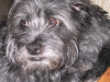 Affenpinscher, 4, Black & Gray