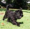 Affenpinscher, 5 months, Black