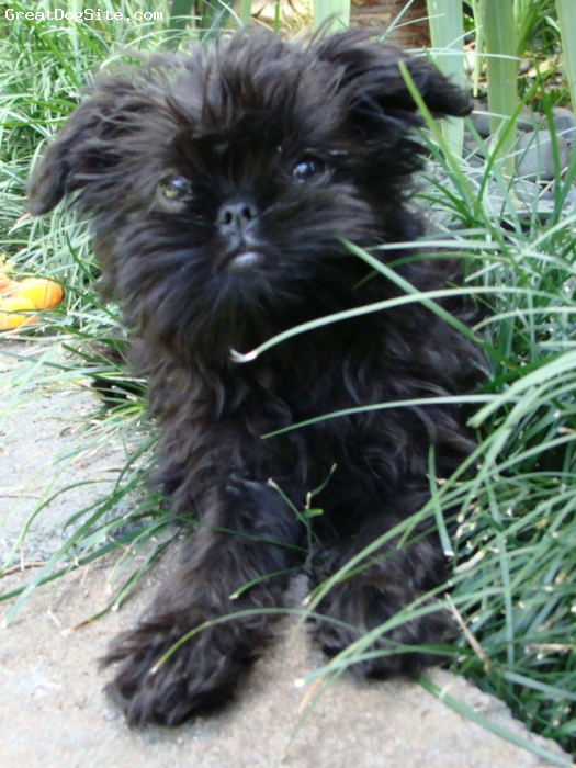 Affenpinscher, 4 months, Black, Great little puppy
