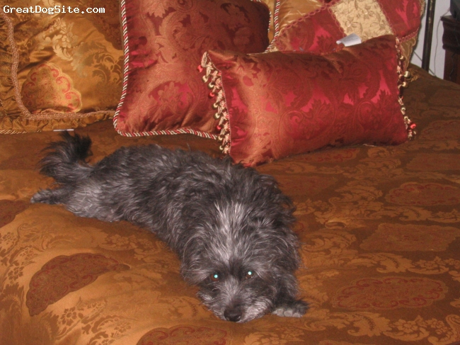 Affenpinscher, 4, Black & Gray, Another picture of Shaggy-Dog