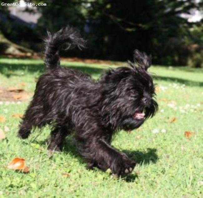 Affenpinscher, 5 months, Black, Wonderful playful character, the perfect pet.