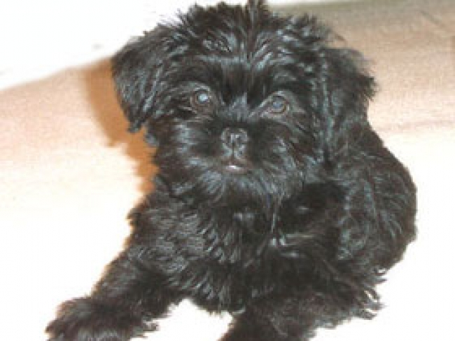 Affenpoo, Unknown, Black, The Affenpoo