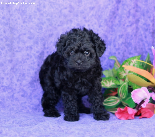 Affenpoo, 8 weeks, Black, One of the little Affenpoo puppies that I put on lancasterpuppies.com