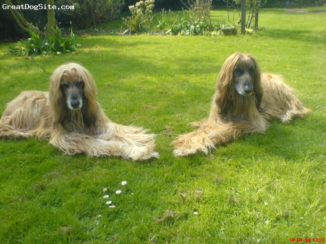 Afghan Hound, 12.5, Gold with black mask, Relaxing in the garden