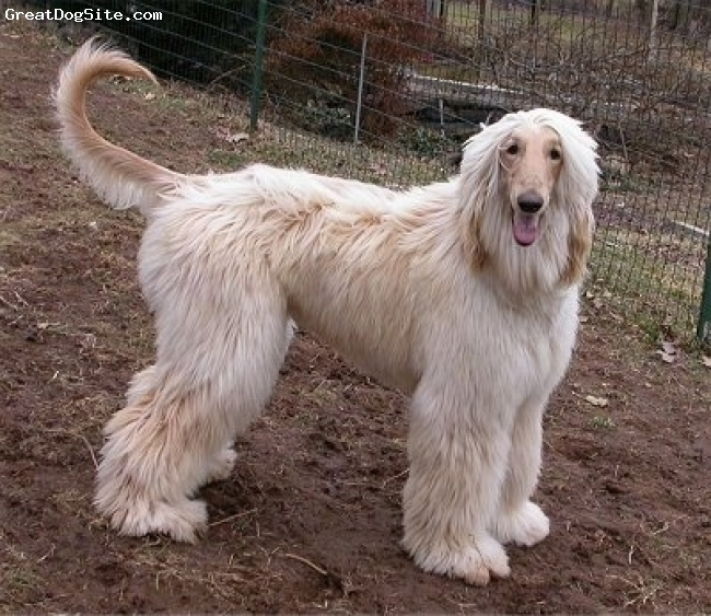 Afghan Hound, 8, Peaches N'Cream, girl