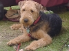 Airedale Terrier, 12 months, black/tan