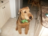 Airedale Terrier, 8, Brown & Black