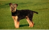 Airedale Terrier, 6 months, black and tan