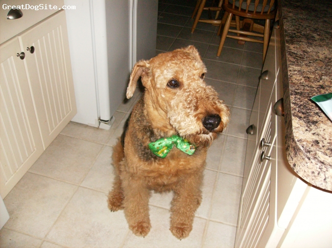 Airedale Terrier, 8, Brown & Black, Nigel is Loyal, very good watch dog, funny, scary intelligent, playful, spoiled, a big character who loves attention, our best friend, our baby.