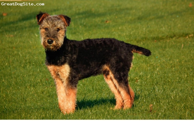Airedale Terrier, 6 months, black and tan, in the garden