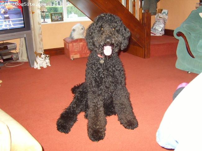 Airedoodle, 22 months, black, big bouncy softy