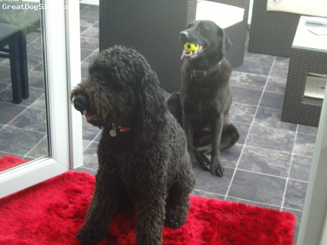 Airedoodle, 33 months, mainly black, freddie and his best friend Ella the Labrador