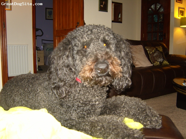 Airedoodle, 3years 6 months, black, lovable big ball of mischief.