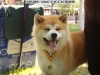 Akita Inu, 18 month, red