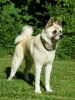 Akita Inu, 2 years, Fawn- White Markings
