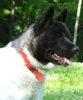 Akita Inu, 2, black white markings