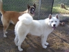 Akita Inu, 1 year 11 months/8 year, White  Red