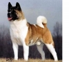 Akita Inu, 9 years old, golden brown