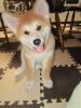 Akita Inu, 2 months, red