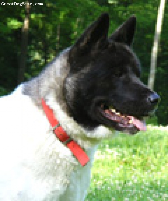 Akita Inu, 2, black white markings, This male is a stunning example of the text book male Akita.  He belongs to Rodriguez Hill Akitas and has sired impressive litters.