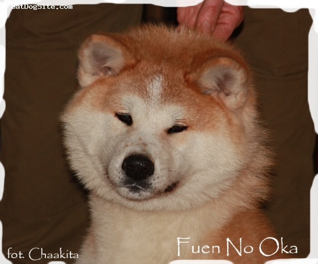 Akita Inu, 1,5 year, red, HAGANISSHOU is a great female, full of energy :)