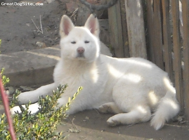 Akita Inu, 3 months, white, the only puppy, beautiful and with excellent caracteristics, Serbia