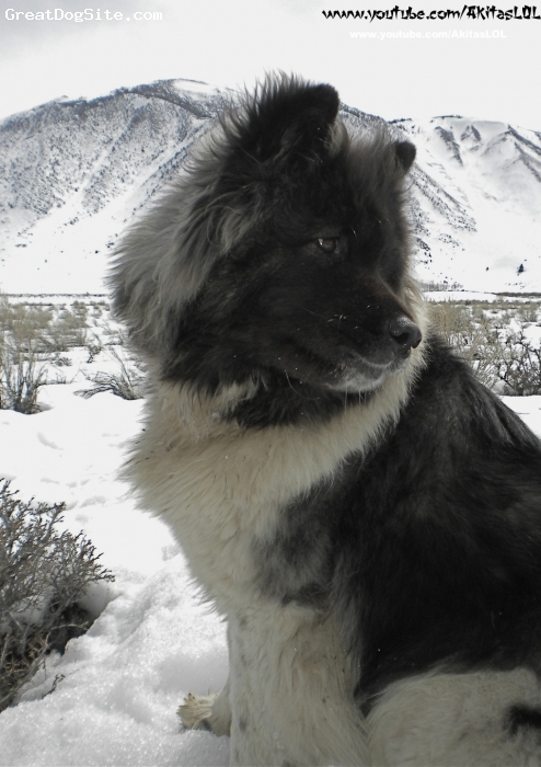 Akita Inu, 4 years old, black and white, This is a photo of a long coat akita, taken on a recent trip to mammoth. There are more videos of her playing with her friends on