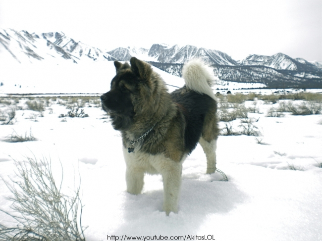 Akita Inu, 1 and a half years old, black and white, This is a photo of a long coat akita, taken on a recent trip to mammoth. There are more videos of him playing with his friends on