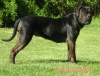 Alano Espanol, 22 month, black & brindle