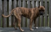 Alano Espanol, 2 years, Brindle
