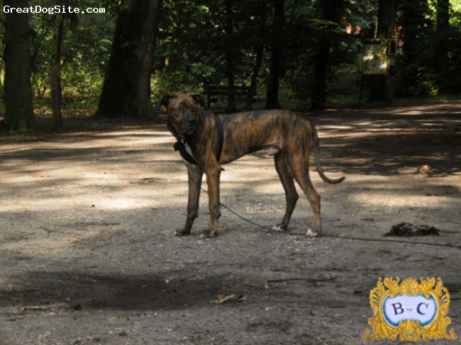 Alano Espanol, 7 monhts, tigered, Botijo out in the forest. Male, 7 months old, 22 kilos
