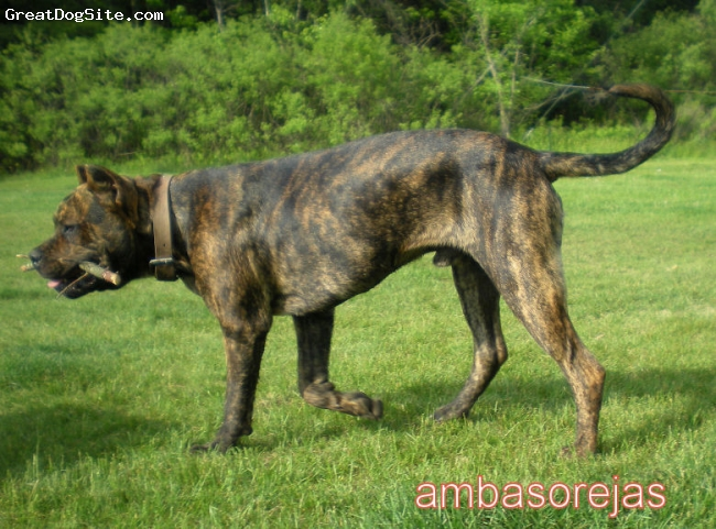 Alano Espanol, 8 month, brindle, 8 month old male playing with stick