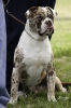 Alapaha Blue Blood Bulldog, 1 Year, Chocolate Merle