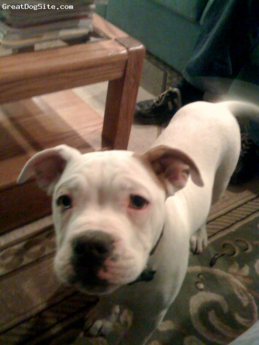 Alapaha Blue Blood Bulldog, 4 months, White, Young and intelligent