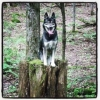 Alaskan Husky, 4, black and white