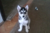 Alaskan Husky, 2 months, White Black Grey