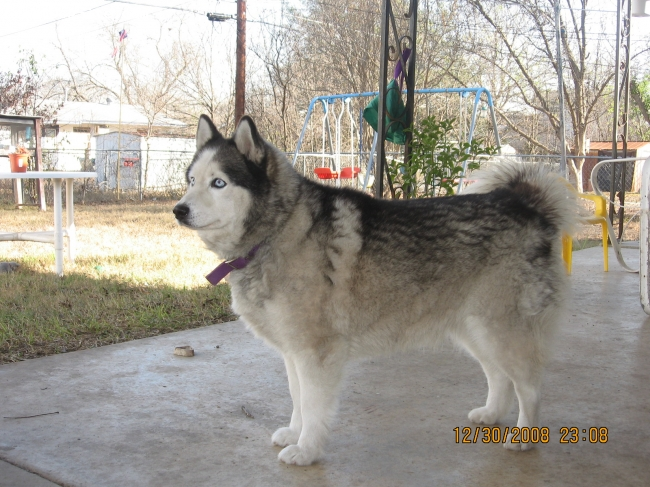 Alaskan Husky, Born 12 / 2006, Black and White Blue eyes, She's adorable, loves to wrestle with my feet, knows her commands, she is my baby which we saved from being put down. We adopted her in summer of 08. She does bark (howl form), and lets you know someone's here. SHe loves to go on walks, that's a must.....