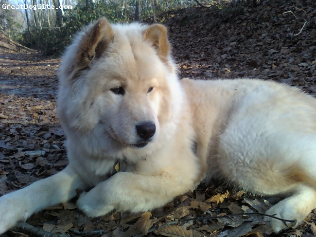 Alaskan Husky, 1 year, white/red, Nala is a 55 lb. Alaskan husky she is white and red  with dark brown eyes