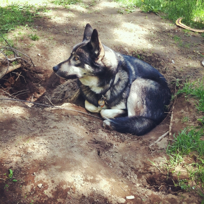 Alaskan Husky, 4, black and white, Max cooling off in his hole