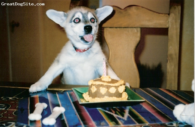 Alaskan Klee Kai, 3 years, Gray and white, Nikki is a miniature Alaskan Klee Kai from San Diego, CA. Here she is celebrating her first birthday!