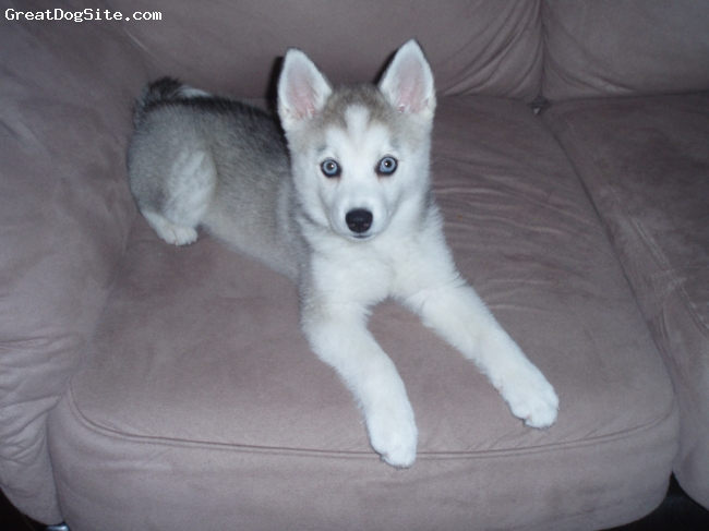 Alaskan Klee Kai, 10 weeks old, gray & white, Nijah just laying on the couch.