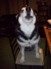 Alaskan Malamute, 3, Black and White