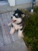 Alaskan Malamute, 2 1/2 months, blk and white