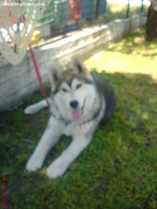 Alaskan Malamute, 8 months, grey, he is perfect ffor me!!!