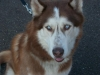 Alusky, 8 years, Red