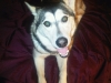 Alusky, 1 year, Black, White, Brown