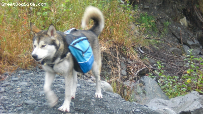 Alusky, 2, grey and white, Kiska with her backpack.
