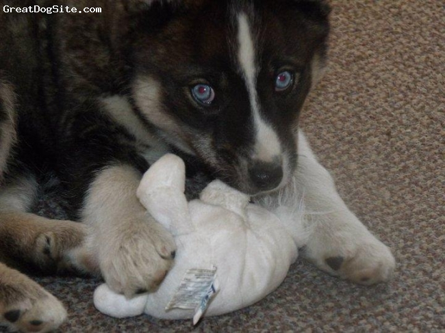 Alusky, 10 Weeks, Black/White/Grey, Tundra Again doing what she does best.. chewing on her toys!