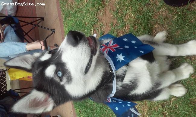 Alusky, 18 weeks, Black and White, Fenrir enjoying Australia Day