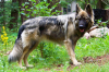 American Alsatian, 9 months old, silver tri-sable